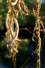 Dried bean pods on the vine waiting for harves. Legumes