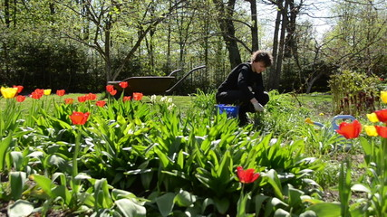 Young gardener woman weed between spring tulip flowers