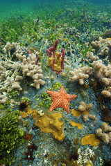 Cushion sea star underwater on colorful seafloor
