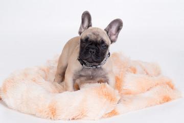 winking French Bulldog puppy