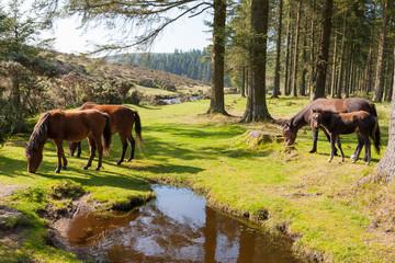 Bellever Dartmoor Devon