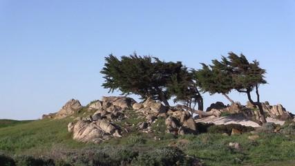 Cypress Trees California Coast