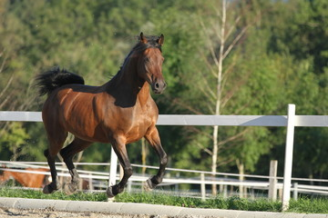 Braunes Pferd galoppiert auf dem Reitplatz
