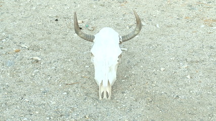Time Lapse of Cow Skull