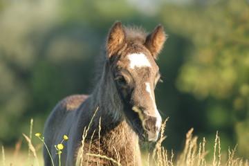Ponyfohlen in Blumenwiese