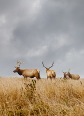Male elk with antlers in a natural grassland habitat