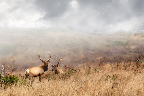 Papiers peints Cerf Two bull elk with antlers during mating season natural habitat. Point Reyes, California