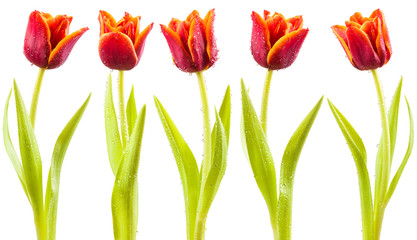 Tulips with water droplets