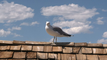 Seagull at Mono Lake  California