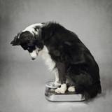 chien border Collie se pesant