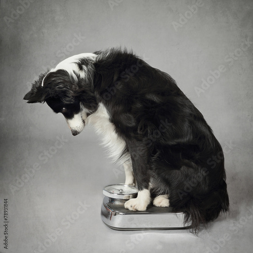 Foto Spatwand Hond chien border Collie se pesant