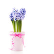 Blue Hyacinth in a pink flower pot with a ribbon.