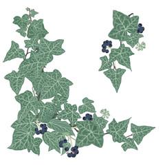 Ivy - Hedera helix