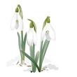 Постер, плакат: Snowdrops Galanthus nivalis