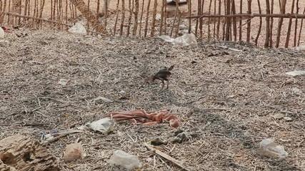 Skinny chicken running through the yard