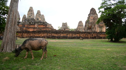 Ox Eating Grass with Stone Wall with Temple Remains - Angkor Wat Temple Cambodia