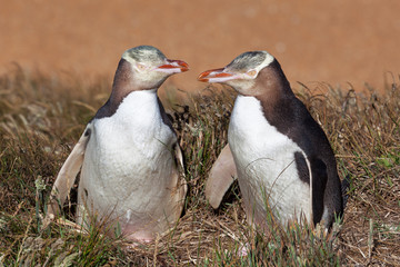 Two Yellow Eyed Penguins looking at eachother