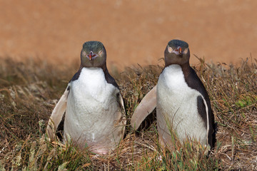 Two Yellow Eyed Penguins looking straight into the camera