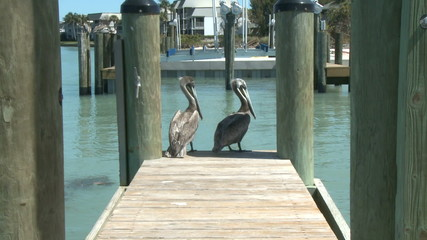 Pelicans on a Dock - Time Lapse 1 of 2