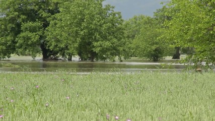 River flooded agricultural fields of wheat. Flood. Trees.