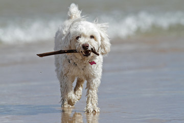 Small White Dog Carrying a Stick at the Beach