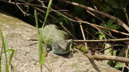 Green lizard standing on ground and enjoying in the sun.