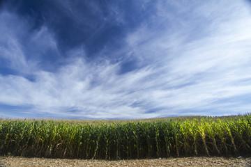 Milho cornfield lavoura 8830