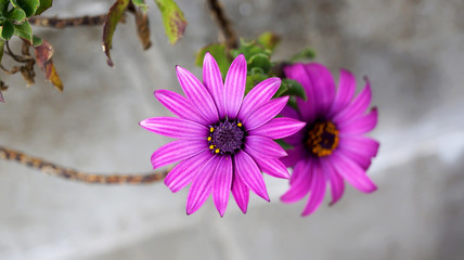 Close up beautiful Osteospermum violet African daisy flower