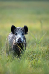 Wild boar in the wild, in a clearing