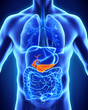 Leinwanddruck Bild - Human Gallbladder and Pancreas Anatomy