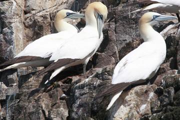 uccelli sula bass rock scozia