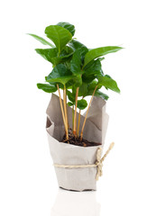 coffee plant tree in paper packaging, isolated on white backgrou