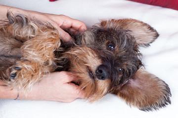Massaggio e coccole cane bassotto