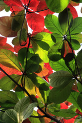 Tree with large red and green leaves
