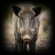 wild boar portrait with vignette