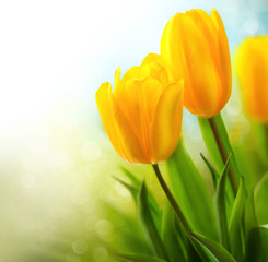 Spring tulip flowers growing. Beautiful yellow tulips closeup