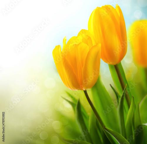 Zdjęcia na płótnie, fototapety na wymiar, obrazy na ścianę : Spring tulip flowers growing. Beautiful yellow tulips closeup