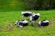 Vaches  vosgienne