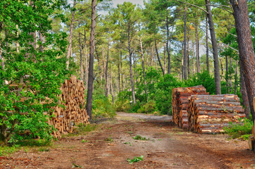 Gironde, maritime pines in La foret des Landes