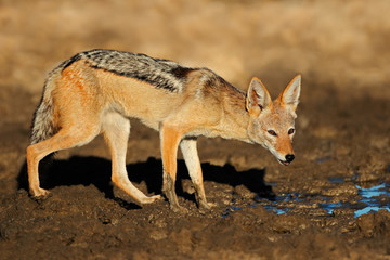 Black-backed jackal, Kalahari desert
