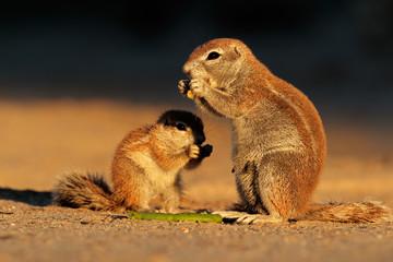 Feeding ground squirrels, Kalahari desert