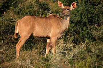 Kudu antelope in natural habitat