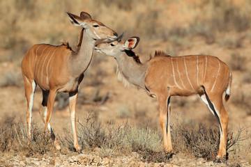 Kudu antelopes, Kalahari desert