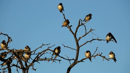 Barn swallows perched on a dead tree
