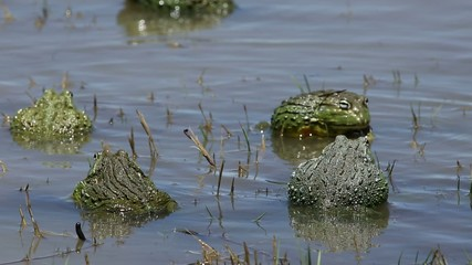 African giant bullfrogs mating and fighting