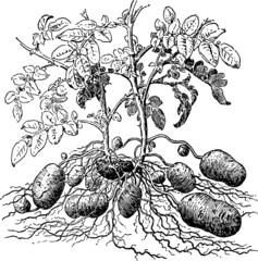 Vintage Illustration potatoes