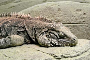 日光浴で眠るケイマンイワイグアナ