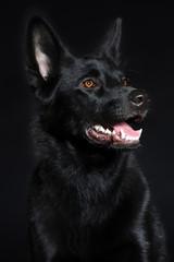 Black wolf dog breeds