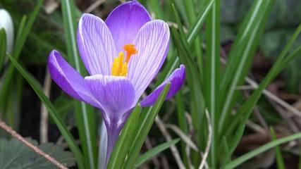 Krokusim Frühjahr