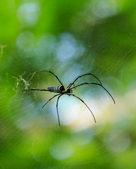 Nephila clavata spider on his web, Penang National Park